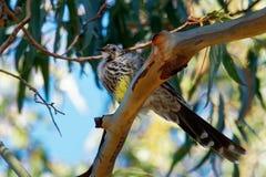 Κίτρινο paradoxa Wattlebird - Anthochaera ο μεγαλύτερος των honeyeaters, ενδημικός στην Τασμανία, Αυστραλία στοκ φωτογραφία