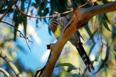 Κίτρινο paradoxa Wattlebird - Anthochaera ο μεγαλύτερος των honeyeaters, ενδημικός στην Τασμανία, Αυστραλία στοκ εικόνες