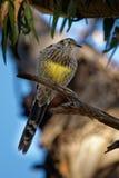 Κίτρινο paradoxa Wattlebird - Anthochaera ο μεγαλύτερος των honeyeaters, ενδημικός στην Τασμανία, Αυστραλία στοκ εικόνα