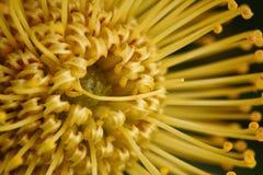 Κίτρινο Pincushion Protea Στοκ φωτογραφίες με δικαίωμα ελεύθερης χρήσης