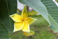Κίτρινο plumeria στο δέντρο plumeria όμορφος Στοκ Εικόνες