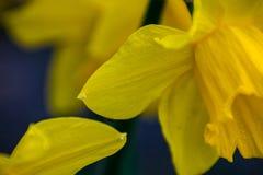 Κίτρινο poeticus ναρκίσσων ναρκίσσων Στοκ φωτογραφία με δικαίωμα ελεύθερης χρήσης
