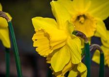 Κίτρινο poeticus ναρκίσσων ναρκίσσων Στοκ Φωτογραφίες