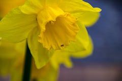 Κίτρινο poeticus ναρκίσσων ναρκίσσων Στοκ Φωτογραφία