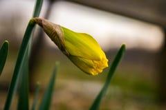 Κίτρινο poeticus ναρκίσσων ναρκίσσων Στοκ Εικόνες