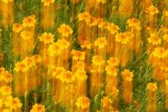Κίτρινο potentilla Στοκ Φωτογραφίες