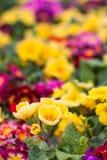 Κίτρινο primula σε ένα πάρκο της Ιστανμπούλ Στοκ Εικόνες