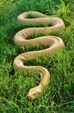 Κίτρινο python στη χλόη Στοκ Φωτογραφίες