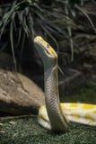 Κίτρινο python Στοκ Φωτογραφία