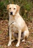 Κίτρινο retriever του Λαμπραντόρ σκυλί Στοκ Φωτογραφία