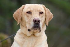 Κίτρινο retriever του Λαμπραντόρ σκυλί Στοκ Εικόνες