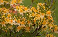 Κίτρινο rhododendron λουλουδιών στον κήπο Στοκ φωτογραφία με δικαίωμα ελεύθερης χρήσης
