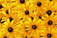 Κίτρινο rudbeckia ή μαύρο Eyed υπόβαθρο λουλουδιών της Susan Στοκ φωτογραφία με δικαίωμα ελεύθερης χρήσης