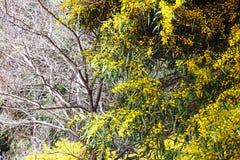 Κίτρινο saligna ακακιών άνθισης την άνοιξη στοκ εικόνα