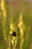 Κίτρινο snapdragon Στοκ φωτογραφία με δικαίωμα ελεύθερης χρήσης