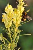 Κίτρινο snapdragon Στοκ Φωτογραφία