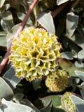 Κίτρινο Starflower Στοκ Εικόνα