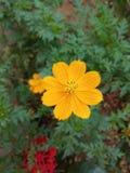 Κίτρινο sundale Στοκ Φωτογραφίες