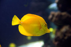 Κίτρινο Surgeonfish Στοκ φωτογραφίες με δικαίωμα ελεύθερης χρήσης
