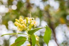 Κίτρινο Tembusu ανθίζει bloomig , Fagraea fragrans Στοκ φωτογραφία με δικαίωμα ελεύθερης χρήσης