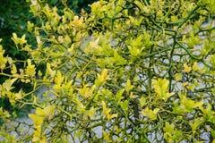 Κίτρινο trifoliata τρία poncirus πορτοκάλι φύλλων από τη στενή επάνω άποψη οφθαλμών λουλουδιών της Ασίας Στοκ εικόνα με δικαίωμα ελεύθερης χρήσης