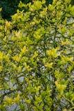Κίτρινο trifoliata τρία poncirus πορτοκάλι φύλλων από τη στενή επάνω άποψη οφθαλμών λουλουδιών της Ασίας Στοκ Εικόνα
