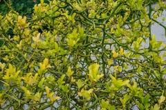 Κίτρινο trifoliata τρία poncirus πορτοκάλι φύλλων από τη στενή επάνω άποψη οφθαλμών λουλουδιών της Ασίας Στοκ Φωτογραφία