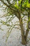Κίτρινο trifoliata τρία poncirus πορτοκάλι φύλλων από τη στενή επάνω άποψη οφθαλμών λουλουδιών της Ασίας Στοκ εικόνες με δικαίωμα ελεύθερης χρήσης