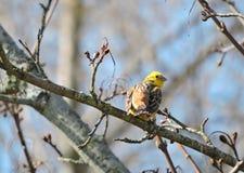 Κίτρινο wagtail, Λιθουανία Στοκ Φωτογραφία