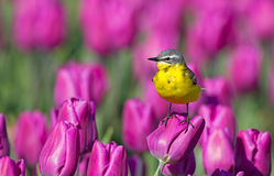 Κίτρινο Wagtail στοκ φωτογραφία με δικαίωμα ελεύθερης χρήσης