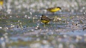 Κίτρινο Wagtails στη λίμνη απόθεμα βίντεο