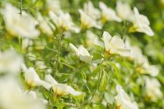 Κίτρινο windflower Nemorosa Anemone Στοκ Φωτογραφία