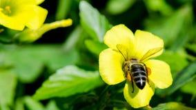 Κίτρινο Woodsorrel Στοκ εικόνες με δικαίωμα ελεύθερης χρήσης