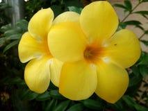 Κίτρινο yala Ταϊλάνδη λουλουδιών Στοκ εικόνες με δικαίωμα ελεύθερης χρήσης