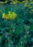 Κίτρινο yarrow λουλούδι με bindweed γύρω από το Στοκ Φωτογραφία