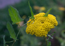 Κίτρινο yarrow λουλούδι με bindweed γύρω από το Στοκ Εικόνα
