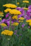 Κίτρινο yarrow Στοκ εικόνες με δικαίωμα ελεύθερης χρήσης