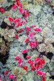 Καίγοντας καρδιές Dicentra λουλουδιών Στοκ Φωτογραφίες