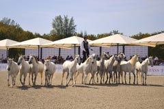 Καβάλλα στα άλογα Στοκ φωτογραφίες με δικαίωμα ελεύθερης χρήσης