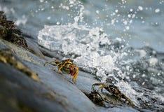 καβουριών Στοκ Εικόνες