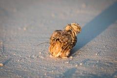 Καβούρια ερημιτών Στοκ Φωτογραφία