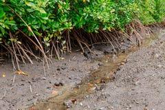Καβούρια στα μαγγρόβια στη λάσπη και τις ρίζες στοκ εικόνες