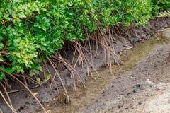 Καβούρια στα μαγγρόβια στη λάσπη μεταξύ των ριζών στοκ εικόνες με δικαίωμα ελεύθερης χρήσης