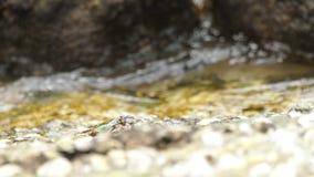 Καβούρια στο βράχο στην παραλία απόθεμα βίντεο