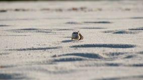 Καβούρι ερημιτών τρεξίματος απόθεμα βίντεο
