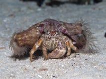 Καβούρι ερημιτών Anemone Στοκ Εικόνα
