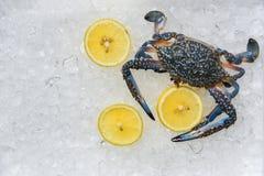 Καβούρι θαλασσινών στο υπόβαθρο πάγου/φρέσκα μπλε κολυμπώντας καβούρια και ωκεάνιος γαστρονομικός λεμονιών στον πάγο στοκ φωτογραφία