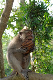 Καβούρι-κατανάλωση macaque τρώγοντας την καρύδα Στοκ Εικόνες