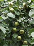 καβούρι μήλων Στοκ φωτογραφίες με δικαίωμα ελεύθερης χρήσης