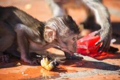 Καβούρι μωρών που τρώει Macaque Στοκ Φωτογραφίες